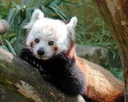 Малая панда википедия
