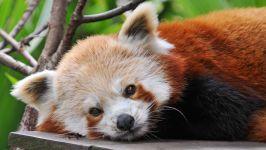Красный панда