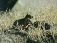 Южноафриканский мангуст (Galerella pulverulenta)
