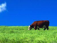 Корова пасется на лугу