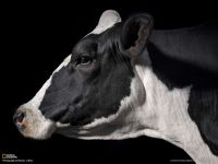 Какой суточный удой коровы?