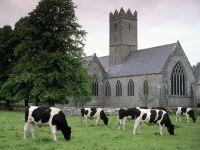 Стадо коров, Ирландия