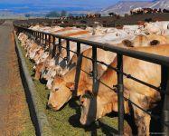 Молочная продуктивность коров