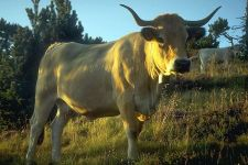 Корова с большими рогами
