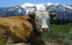 Вес коровы