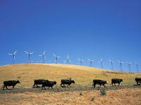 Черные коровы на фоне ветряных электростанций