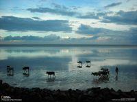 Стадо коров бредущее по воде