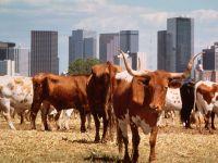 Животное корова