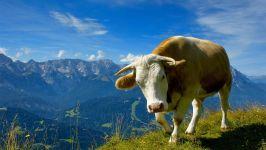 Корова домашнее животное