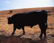 Содержание быков