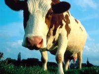 Корова текст