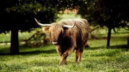 Шотландская высокогорная корова