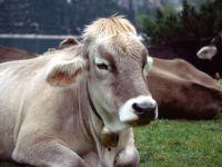 Болезни коров