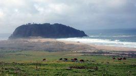 Коровы пасущиеся у берега моря