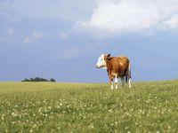 Почему корова?