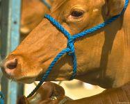 Как лечить корову?