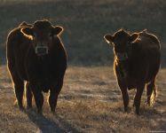 Виды коров