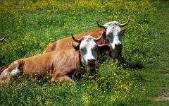 Две коровы лежащие в траве