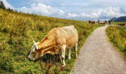 Строение коровы