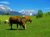 Корова википедия