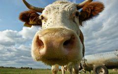 Морда коровы