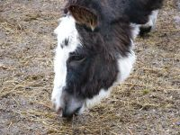Телка корова