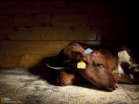 Спящий теленок