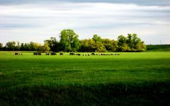 Пасущееся на лугу стадо коров