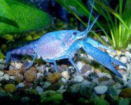 Голубой кубинский рак (Procambarus cubensis)
