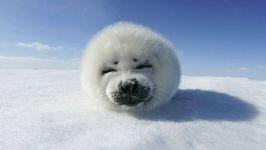 Смешной белек тюлень