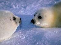 Детеныши тюленя