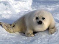Белек тюлень