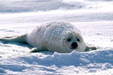 Детеныш тюленя лежащий на снегу