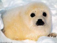 Белек тюленя рабочий
