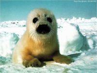 Гренландский тюлень детеныш