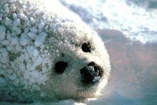 Белек гренландского тюленя