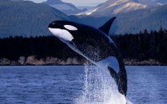 Косатка (Orcinus orca)