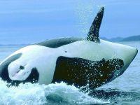 Брюхо кита косатки