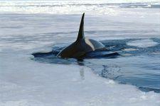 Косатка кит среди льдов