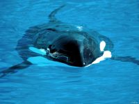 Косатка дельфин