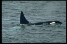 Касатка кит или дельфин?