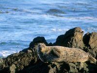 Каспийский тюлень (Phoca caspica)
