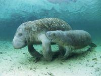 Дюгонь (Dugong dugon)