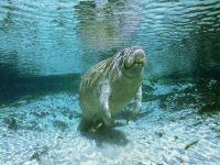 Обыкновенный дюгонь (Dugong dugon)