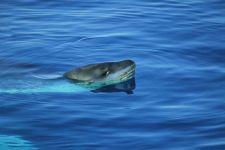 Морской леопард высунувшийся из воды