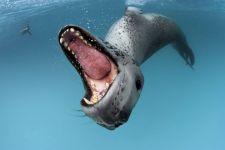 Морской леопард википедия