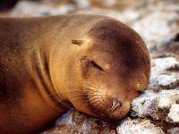 Морской котик спит