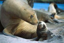 Самка морского льва с детенышем