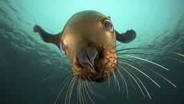 Сивуч, или северный морской лев (Eumetopias jubatus)