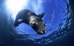 Морской лев под водой